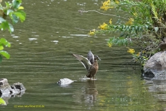 Ente bei der täglichen Reiniung in der Flachwasserzone an der Saar