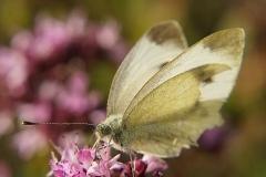 Ein Schmetterling saugt aus einer Blüte den Nektar