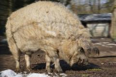"""Es handelt sich bei dem Foto um ein Blondes Mangalitzaschwein auch Blondes Wollschwein oder Blondes Lockenschwein (Sus scrofa f. domestica) genannt und ist im Gonsenheimer Wildpark zu sehen. Name des Tieres """"Frederick """""""